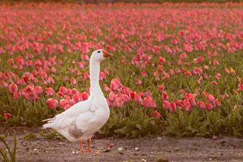 Tulip tour Netherlands